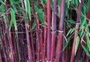 La Bambouïte Aigüe